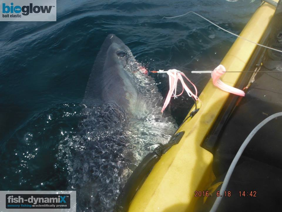 Graham-Smith-300lb-porbeagle-for-Graham-pic-2