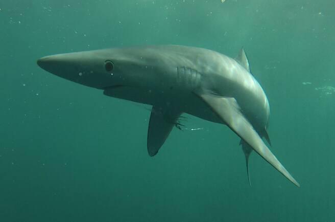 Un squalo blu