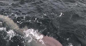 E' davvero finita l'epoca degli squali ammazzati inutilmente: brava Irlanda!