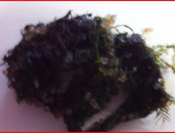Deposizione sulle alghe in acqua calda