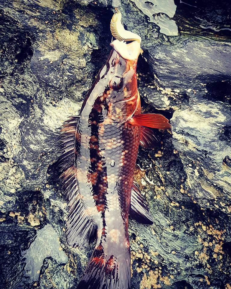 Donegal Wrasse