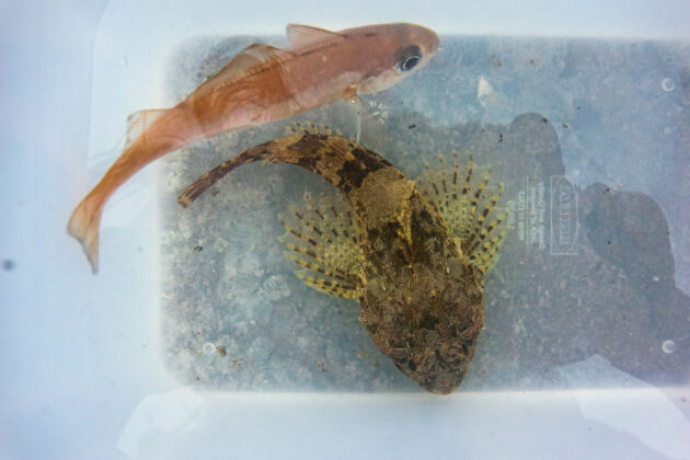A very pretty, yet surprisingly brave poor cods with that tremendously handsome long-spined sea scorpion